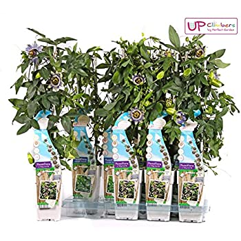 passionsblume passiflora caerulea kletterpflanze winterhart immergr n 1 5 liter topf. Black Bedroom Furniture Sets. Home Design Ideas
