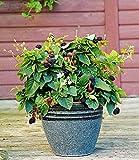 BALDUR-Garten Topf-Brombeere'Purple Opal', 1 Pflanze Brombeerstrauch für Balkon Terrasse