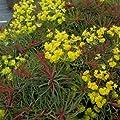 lichtnelke - Zypressen - Wolfsmilch (Euphorbia cyparissias f. rubrifolia) von Lichtnelke Pflanzenversand bei Du und dein Garten