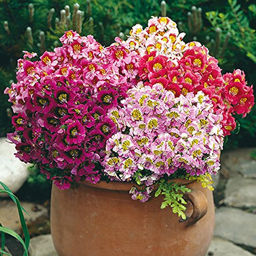 Flower Seeds : Schizanthus Suitable For Pot Plant Seeds Pack - Garden Flower Seeds Pack by Creative Farmer  available at amazon for Rs.99