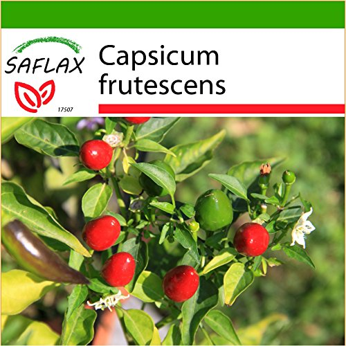 SAFLAX - Piment Red Finger - 25 graines - Avec substrat - Capsicum frutescens