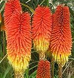 Fackellilie - Kniphofia Crown - Blume - Raketenblume - 25 Samen