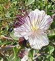 Just Seed - Kraut - Echter Kapernstrauch - Caper - 20 Samen von Just Seed - Du und dein Garten
