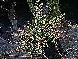 Berberitze Starbust - Berberis thunbergii Starbust