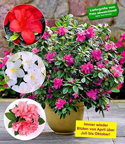 baldur-garten-durchblhende-azaleen-bloom-a-thon-in-4-farben-4-pflanzen-rhododendron-winterhart