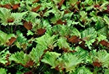 SeeKay Perilla Bi - Farbe - Shiso - Japanisch Basil - Ca. 340 samen - Gemüse / Kräuter