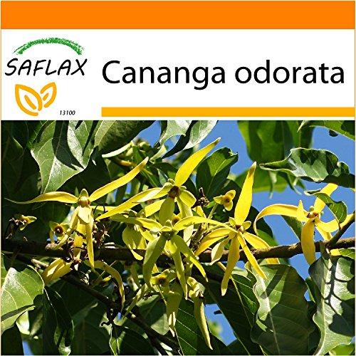 SAFLAX - Garden in the Bag - Parfumbaum / Ylang Ylang - 10 Samen - Cananga odorata - Garden In A Bag