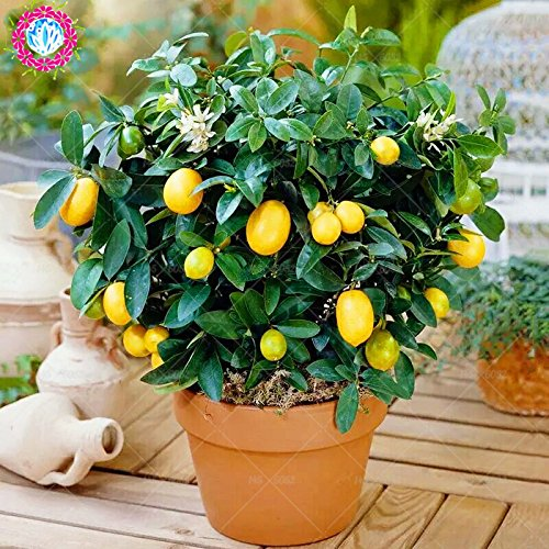 40pcs Arbres fruitiers Graines Plantées Dwarf Graines bio Douce Kumquat orange fruits en pot Graines Mandarine jardin d'agrumes graines Bonsai