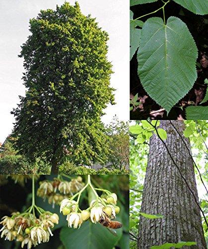 "PLAT FIRM GERMINATIONSAMEN: Linde""Tilia americana"". 100 Samen. Bäume, Samen"