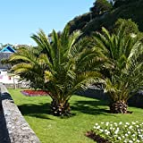 Hardy Phoenix Palm Trees (Pair)