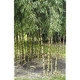 Chusquea culeou – bambú andino l
