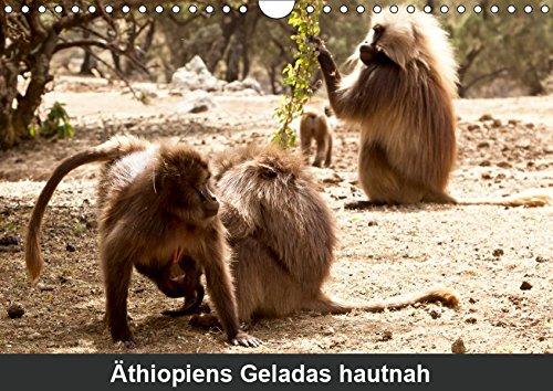 Äthiopiens Geladas hautnah (Wandkalender 2019 DIN A4 quer): Die nur im Hochland Äthiopiens vorkommenden Geladas (Blutbrustpaviane) beeindrucken durch ... 14 Seiten (CALVENDO Tiere)