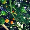 Charapita Chili , 10 Samen -Teuerste Chili der Welt- WILDCHILI von Samenchilishop auf Du und dein Garten