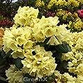 Rhododendron Millenium Gold® 40-50cm - Alpenrose von Baumschulen auf Du und dein Garten