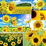 Portal Cool 40Pcs Riesensonnenblume Seltene Blumensamen Einjährig Samen Bio Helianthus Nizza