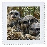 3dRose QS 90367_ 5Erdmännchen, Louisville Zoo,