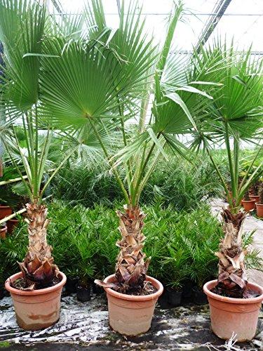 Washingtonia robusta - Mexikanische Washingtoniapalme - verschiedene Größen (100-120cm - Ø22cm)