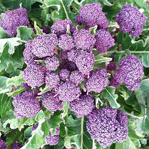 Sprouting Broccoli (Brokkoli - Broccoli - Early Purple Sprouting - 200 Samen)