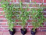 30 x Bambus, 40-50 cm ab Topf, Fargesia murielae Jumbo, winterharter Gartenbambus