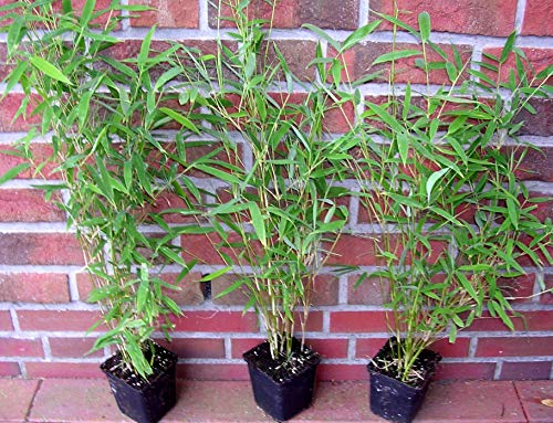 20 x Bambus, 50-60 cm ab Topf, Fargesia murielae Jumbo, winterharter Gartenbambus