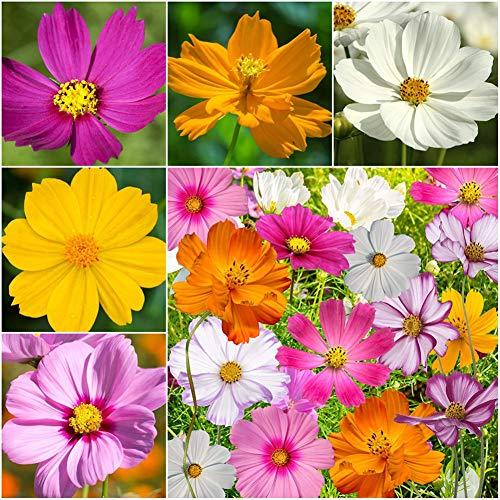 Chrysanthemen Gewicht