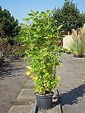 Silberkerzenstrauch 30-40 cm Strauch für Sonne-Schatten Zierstrauch weiß blühend Balkonpflanze winterhart 1 Pflanze im Topf