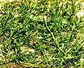 1 Matte Flame Moos Taxiphyllum sp. Flammenmoos von 440 bei Du und dein Garten