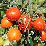10 Samen Fuzzy Wuzzy Tomate – dekorative Buschtomate, fruchtiger Geschmack