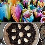 Generic Rainbow tulip bulbs seeds The most beautiful flower seeds