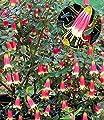 """BALDUR-Garten Correa """"Canberra Bells"""",1 Pflanze von Baldur-Garten - Du und dein Garten"""
