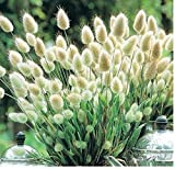 Coorun Samtgras Hasenschwanz-Gras Schwingel Gras Bunny-Tails 100 Samen Bunte Grün Bodendecker Grassamen für zu Hause Garten Bepflanzung (Grün)