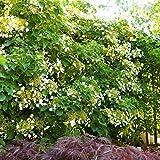Hydrangea petiolaris - Kletterhortensie 60-100cm im Topf gewachsen