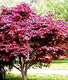 Future Exotics Acer palmatum Atropurpureum Roter Fächer Ahorn winterhart