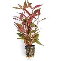 PREMIER PLANTS Telanthera Alternanthera reineckii RED MINT Aquarium LIVE Plants