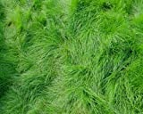 Class 1 Creeping Red Fescues Grass Seeds, Pack of 2.270 kg