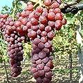 Suffolk red pilzfeste Wein Rebe rosa Traube, süß und kernlos, im 2 Liter Topf von Grüner Garten Shop auf Du und dein Garten