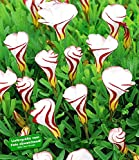 BALDUR-Garten Südafrikanischer Zierklee Oxalis versicolor, 4 Zwiebeln