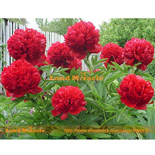 Arbre rares Crimson Pivoine rouge Graines de fleurs, 5 graines, fleurs de jardin parfumé lumière pour décor terre maison Miracle