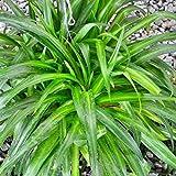 #4: M.D.Farm and Nursery Live Air Purifying Spider Plant(Dark Green)
