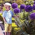 Keland Garten - Exotic 30 stück allium giganteum Riesen-Zierlauch selten Blumenzwiebeln winterhart mehrjährig aus Vorderasien von Keland bei Du und dein Garten