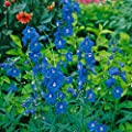 Staude Rittersporn blau blühend, 5 Stauden von Amazon.de Pflanzenservice auf Du und dein Garten