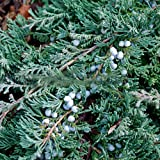 Juniperus comunis var.blue carpet - Enebro común - Maceta de 3Litros