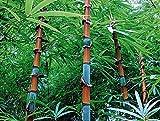 Soteer Seed House - 100 Piezas Invierno Exótico Semillas de bambú resistentes 'Maravilla china' Rojo/Dorado/Negro / 'Dragón azul' / Plantas ornamentales de bambú perennes