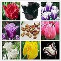 Wahre Tulpenzwiebeln, Tulpe-Blume, (nicht Samen Tulpe), symbolisieren Blumenzwiebeln Liebe, tulipanes Blumenanlage für Gartenpflanzen -2 Glühbirnen von SVI bei Du und dein Garten
