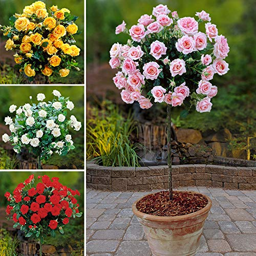 yougarden-patio-standard-roses-collection-4-colours-set-of-4