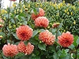 alkarty Dahlia flower seed with growing ...