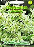 Wolfsmilch 'White Top' einjährig,dekorativ, Schnittblume 'Euphorbia marginata'