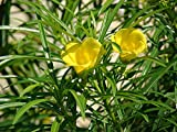 10 Thevetia peru Samen, glückliche Mutter, gelbe Oleander, mexikanische Oleander Baumsamen