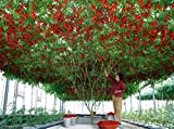 #3: Hybrid Indian Climbing Tomato 100 Seeds Pack