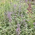 lichtnelke - Katzenminze ( Nepeta racemosa BLUE WONDER ) von Lichtnelke Pflanzenversand - Du und dein Garten